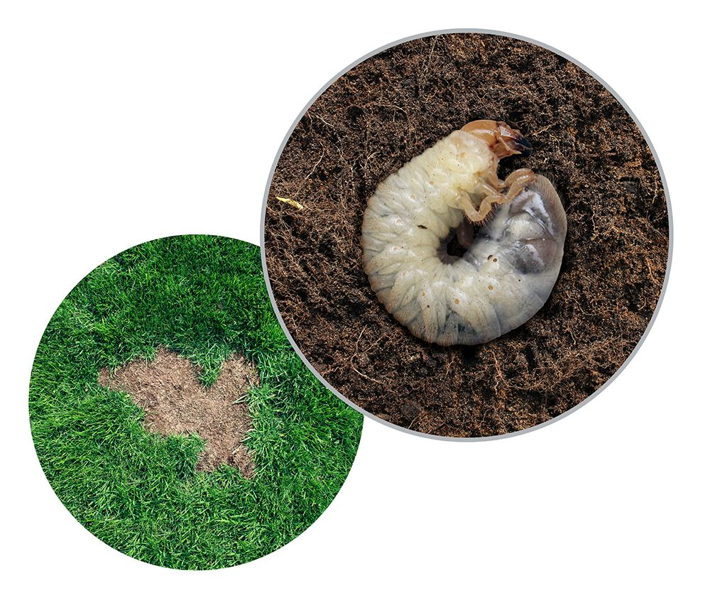 Lawn Grub And Pests Get Rid Of Them With Acelepryn Gr